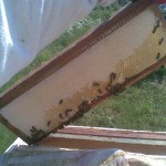 пчелы печатают соты забрусом