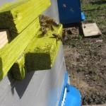 прилет пчелы в улей