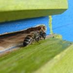 пчелки охранницы
