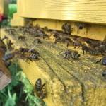 Работа пчелок по проветриванию улья