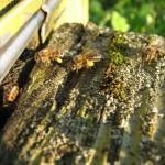 обножка (пыльца) на ножках пчелок