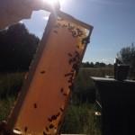 запечатанный мед в сотах
