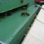 пчелки перед входом в улей
