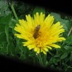 пчелка труженница