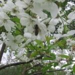 Сбор нектара с вишневых цветков