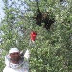 Рой пчел на облепихе