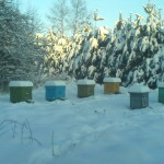 Пчелки, зима 2015 год. Зимовка в лежаке. Снежная зима 2015 года.